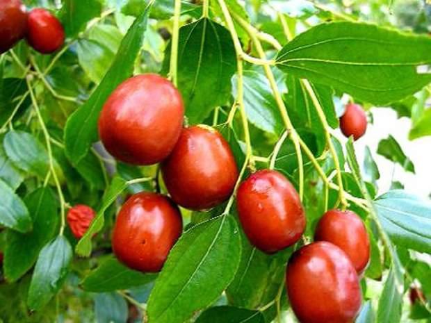 Плоди зізіфуса