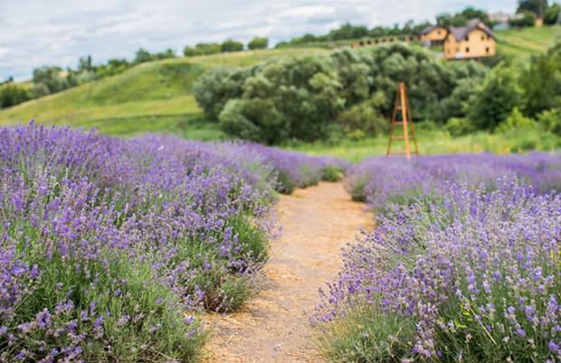 Лавандові поля в Україні
