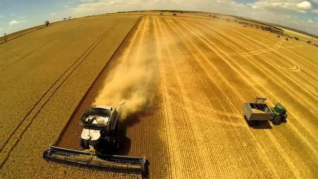 Обсяги пшениці перевищили минулорічні на 30%
