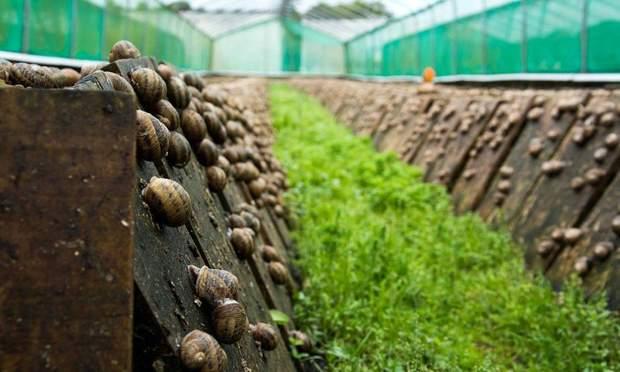 равлики ферма