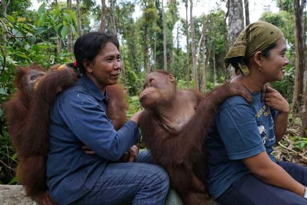 Суматранські орангутани