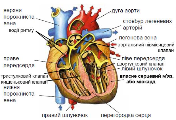 серце будова серця