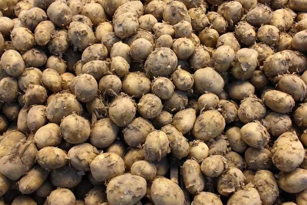 картопля, вартість городини, ціна картоплі, запаси на зиму
