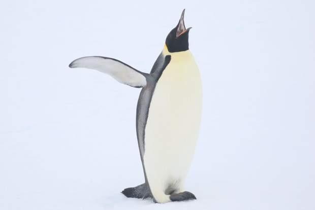 пінгвін антрактила