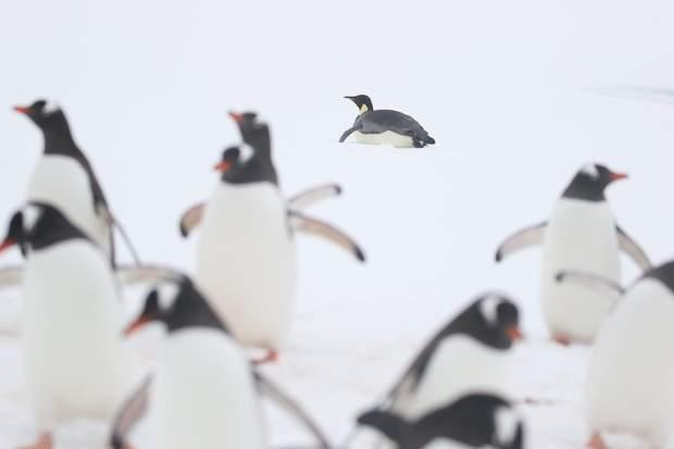 пінгвін антрактида