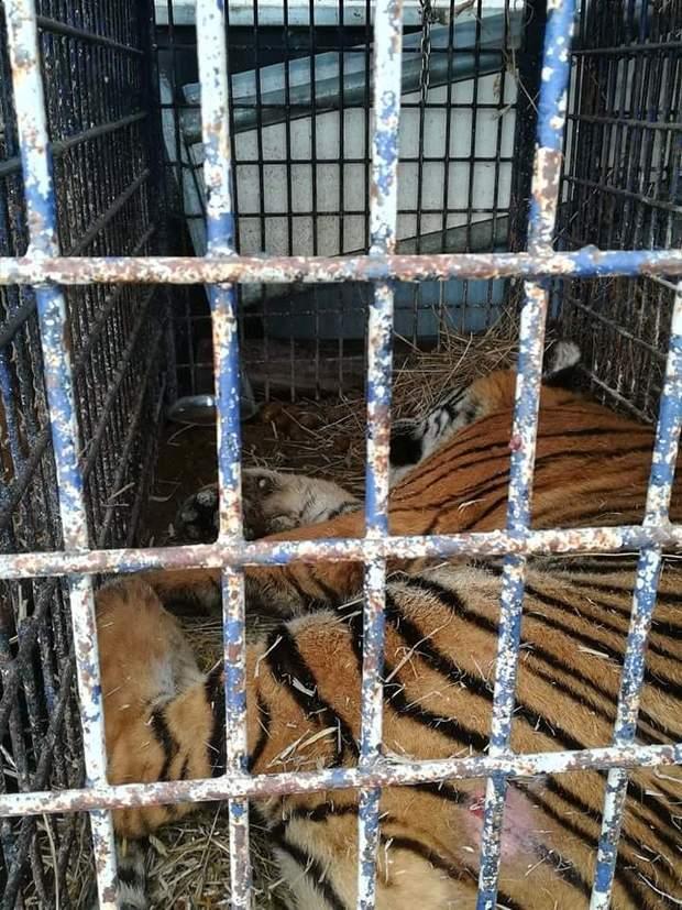 тигри польща росія