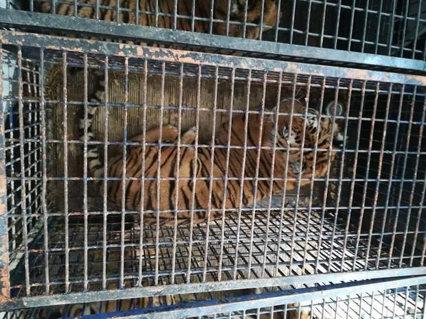 тигри польща знущання