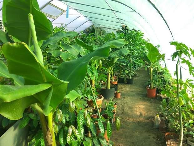 Бананова ферма на Львівщині