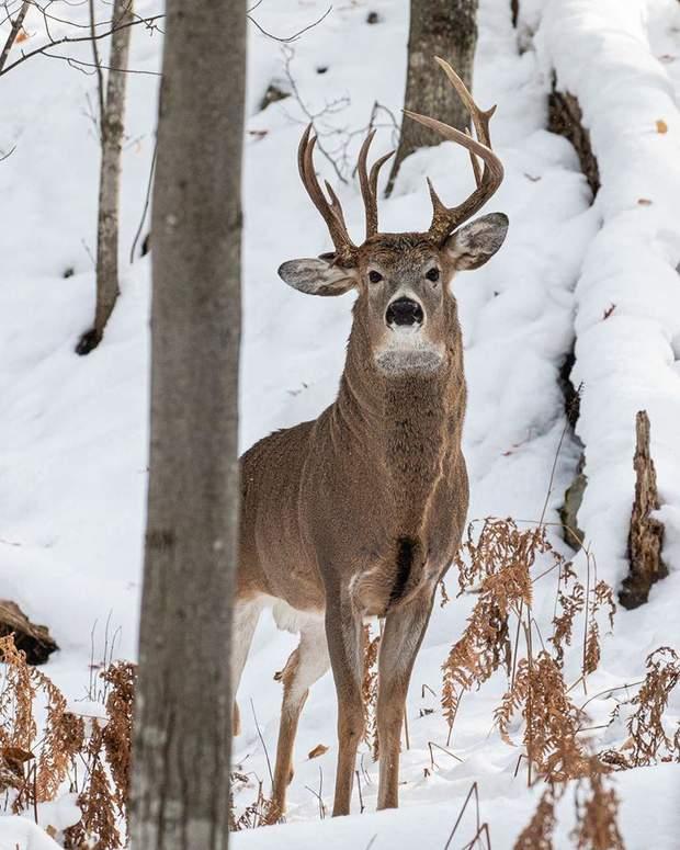 Унікального трирогого оленя помітили у США: цікаве фото