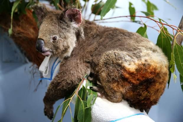 Врятовані в Австралії Коали проходять реабілітацію