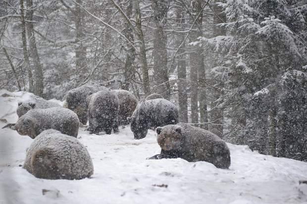 ведмеді карпати не можуть спати через погоду