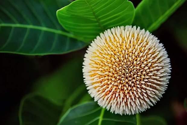 Антоцефалус кадамба може лікувати від раку