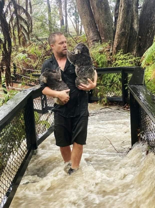 австралія коали пожежі зливи тварини