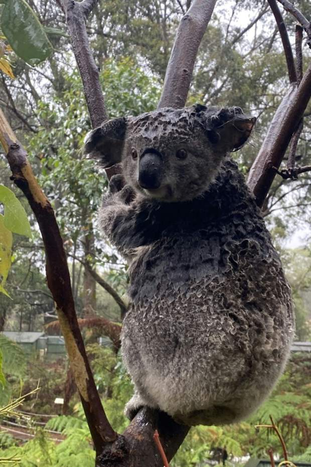 коала австралія пожежа зливи тварини
