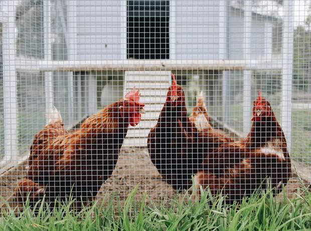 Пташиний грип: симптоми та шляхи зараження