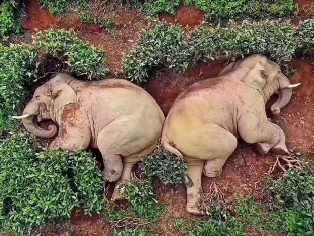 слони випили вино Китай