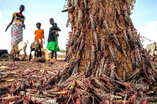 Нашестя сарани в Африці