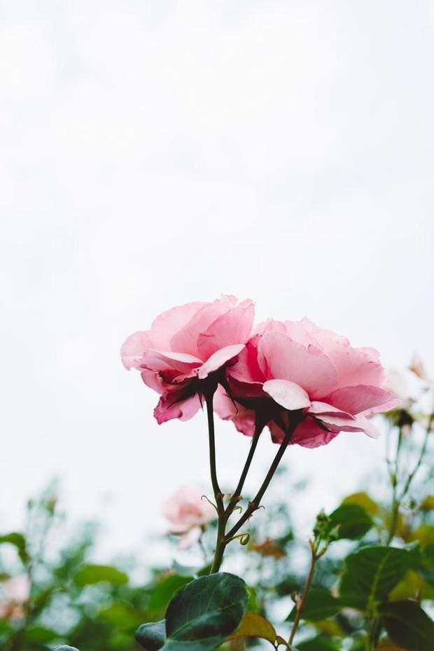 Троянди в косметології