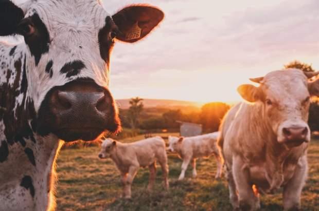 На великих фермах через коронавірус немає кому працювати