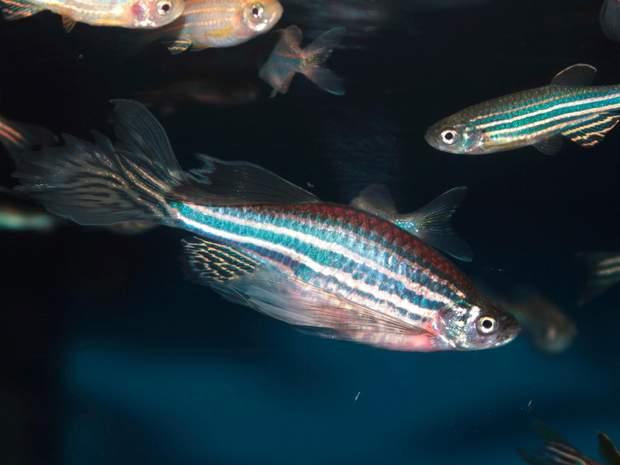 Рибки допомогли знайти новий статевий гормон