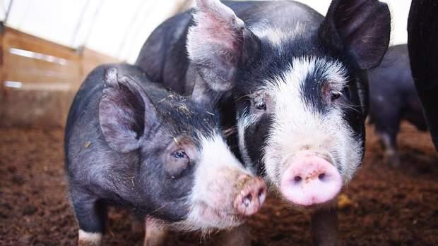 свиноферми