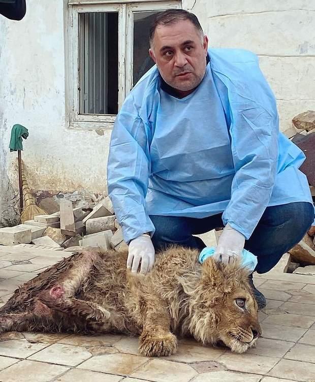 Похитили, сломали лапы и выбросили: от браконьеров спасли волшебного львенка – фото