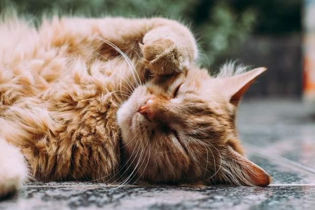 Кульки шерсті у котів