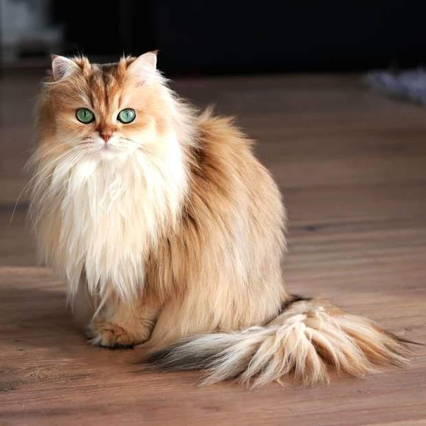 Шерсть у шлунку кота