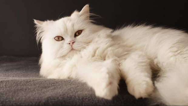 Шерсть у шлунку пузнастих котів
