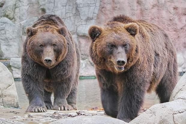 Існують спеціальні правила утриманн ведмедів