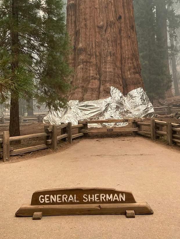 найбільше дерево у світі, Генерал Шерман