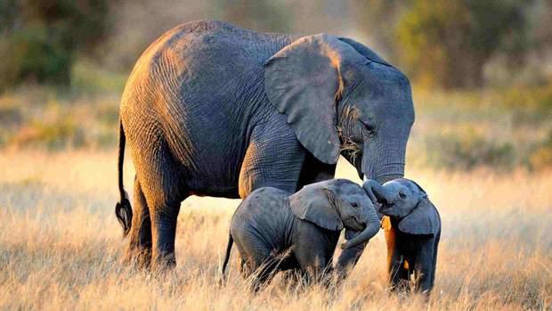 Слоненята з мамою