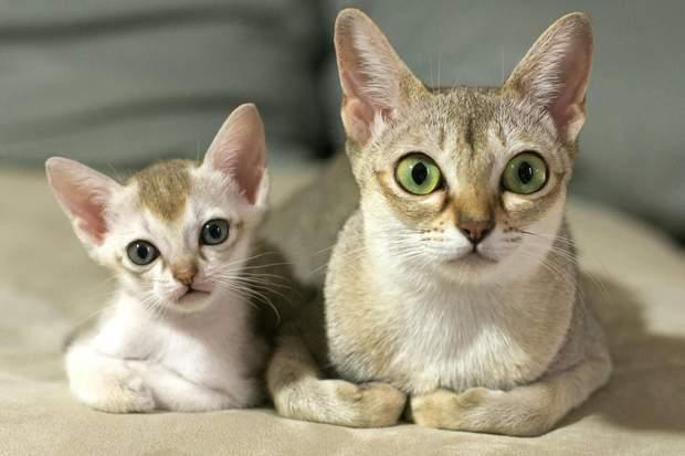 Сингапурська кішка