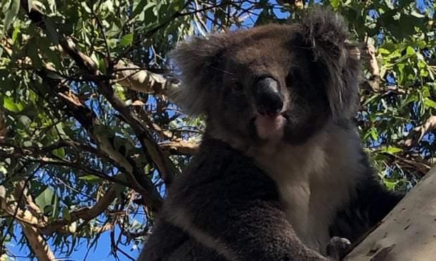 В Австралії коала спровокувала ДТП