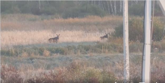 У Львові помітили червонокнижних лосів: цікаві фото і відео