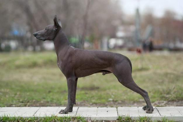 Собака породи шолоіцквінтлі