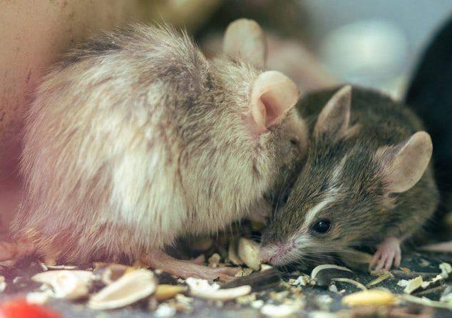 Импланты заставляли мышей проявлять социальное поведение