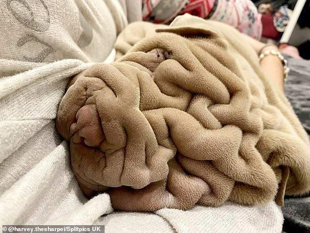 Пес похож на небрежно брошенный плед