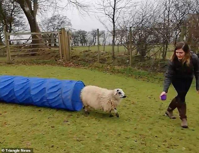 Вівця з легкістю навчилася долати смугу перешкод