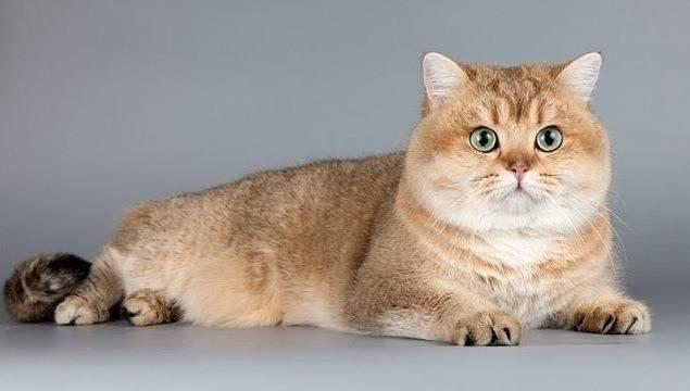 Британських котів полюбляють в усьому світі