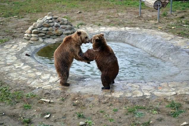 На Львівщині офіційно відкрили притулок для ведмедів: вражаючі фото, відео