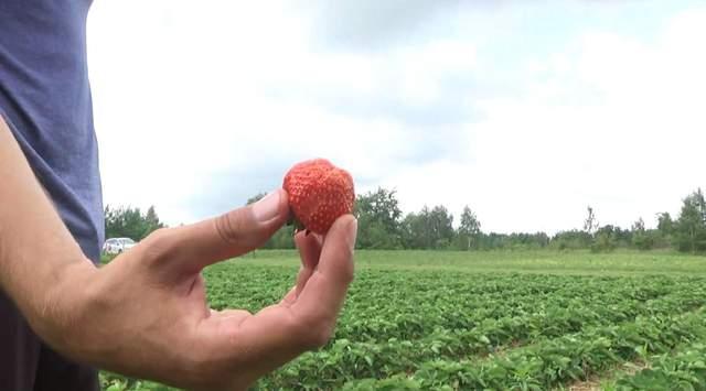 Ягодный сезон под угрозой: что повлияло на неурожай в Украине и на какие цены надеяться