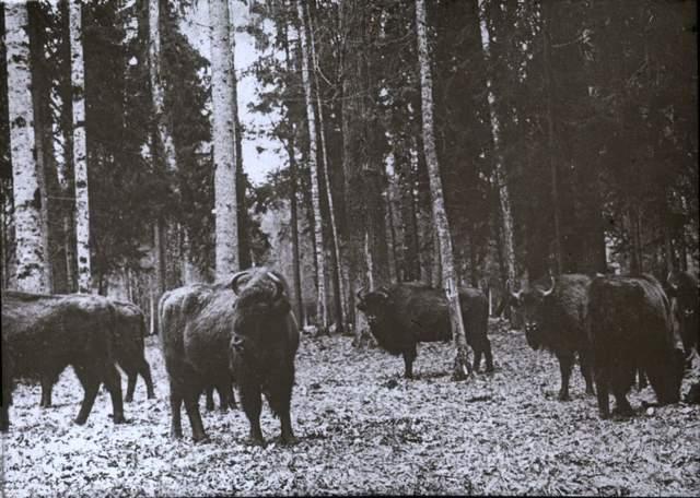 Зубри на території лісу