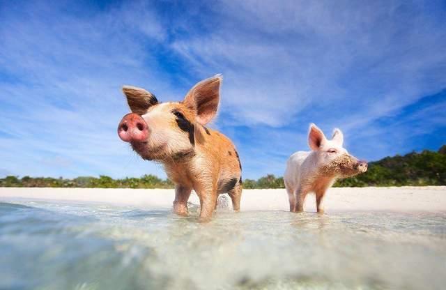 Плаваючі свині на Багамах