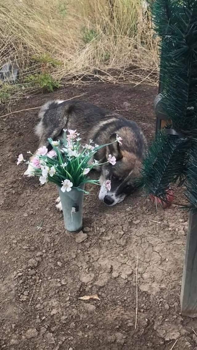 пес чекає господаря 3 роки на могилі
