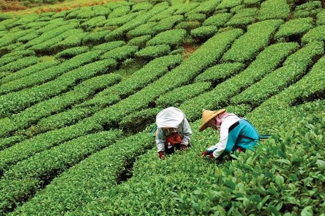 Чайна плантація
