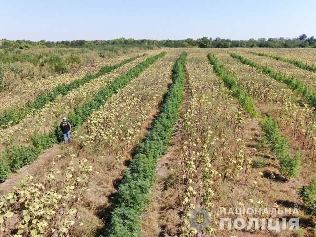 Поліція знайшла на Запоріжжі поле з канабісом