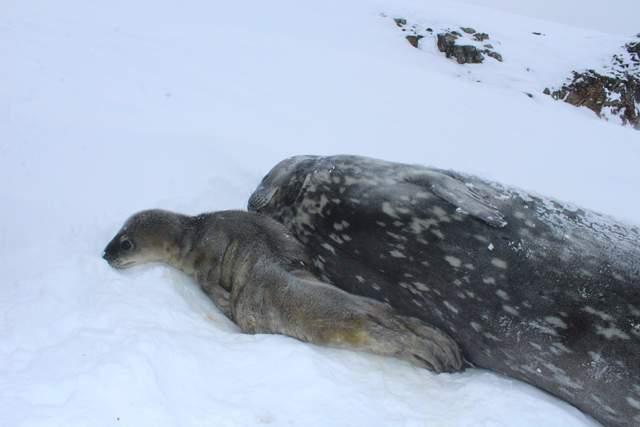Народилося тюленя біля станції Академік Вернадський