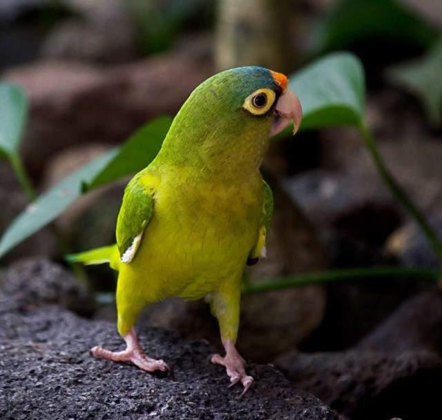 Цей вид папуг має світлі кола біля очей