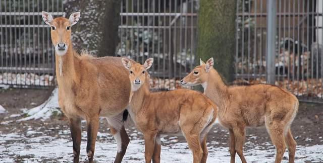 Як зимують звірі у київському зоопарку: миле відео